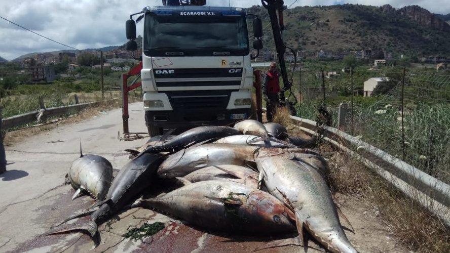 https://www.ragusanews.com//immagini_articoli/01-06-2019/trenta-tonni-abbandonati-per-strada-accade-in-sicilia-500.jpg