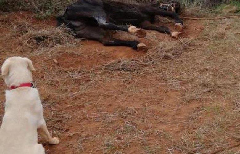 https://www.ragusanews.com//immagini_articoli/01-10-2018/cane-trova-cavallo-agonia-avvertire-padrona-500.jpg