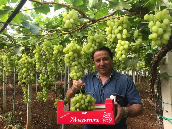 https://www.ragusanews.com//immagini_articoli/02-06-2019/a-mazzarrone-e-gia-iniziata-la-stagione-uva-500.jpg
