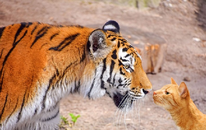 https://www.ragusanews.com//immagini_articoli/02-06-2020/il-virus-era-una-tigre-assassina-ora-e-un-gatto-selvatico-500.jpg