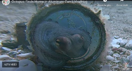 https://www.ragusanews.com//immagini_articoli/02-06-2020/polpo-non-trova-casa-e-si-trasferisce-dentro-una-lattina-video-240.jpg