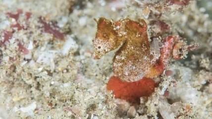 https://www.ragusanews.com//immagini_articoli/02-06-2020/scoperto-un-cavalluccio-marino-pigmeo-in-grado-di-scomparire-240.jpg