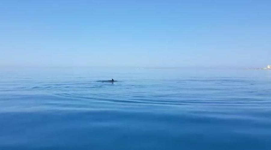 https://www.ragusanews.com//immagini_articoli/02-08-2017/delfini-caucana-punta-secca-video-500.jpg