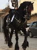 http://www.ragusanews.com//immagini_articoli/03-12-2014/vendo-cavallo-frisone-100.jpg