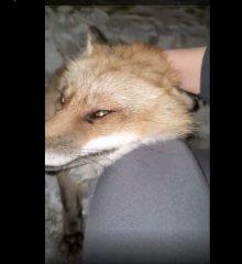 https://www.ragusanews.com//immagini_articoli/04-04-2020/la-volpe-bussa-vuole-le-coccole-il-suo-e-commovente-video-240.jpg