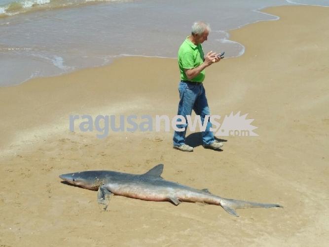 http://www.ragusanews.com//immagini_articoli/04-05-2017/squalo-spiaggiato-scoglitti-500.jpg