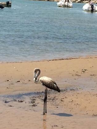 http://www.ragusanews.com//immagini_articoli/04-09-2016/un-fenicottero-in-spiaggia-a-donnalucata-420.jpg