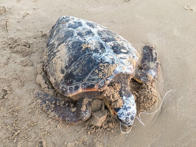 https://www.ragusanews.com//immagini_articoli/05-02-2021/stava-rubando-carapace-tartaruga-marina-denunciato-500.jpg