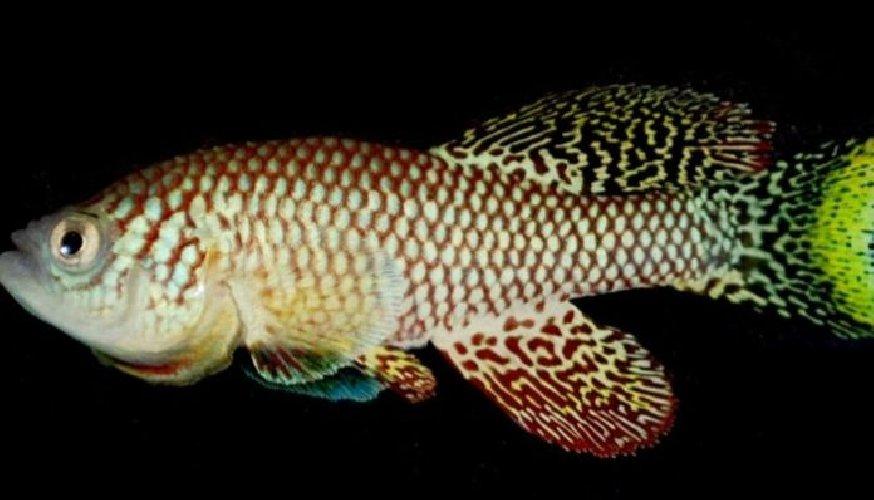 https://www.ragusanews.com//immagini_articoli/05-03-2020/sono-io-killy-turchese-il-pesce-che-non-invecchia-500.jpg