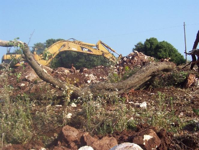 http://www.ragusanews.com//immagini_articoli/05-06-2011/abbattuti-carrubi-secolari-sull-altopiano-ibleo-500.jpg