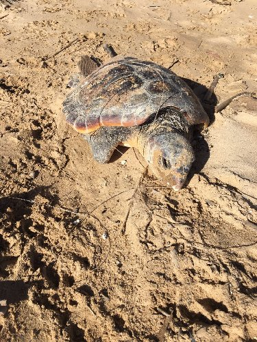 http://www.ragusanews.com//immagini_articoli/06-01-2018/tartaruga-morta-lido-spinasanta-500.jpg