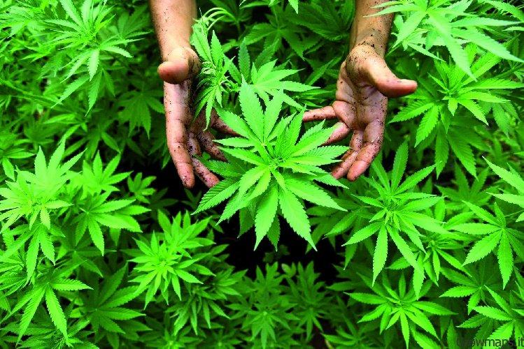 https://www.ragusanews.com//immagini_articoli/06-04-2019/una-grande-coltivazione-di-canapa-tra-scicli-santa-croce-e-ispica-500.jpg