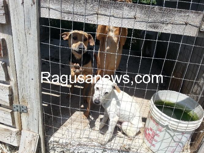 https://www.ragusanews.com//immagini_articoli/06-07-2014/tutti-i-cani-di-lucenti-trasferiti-500.jpg