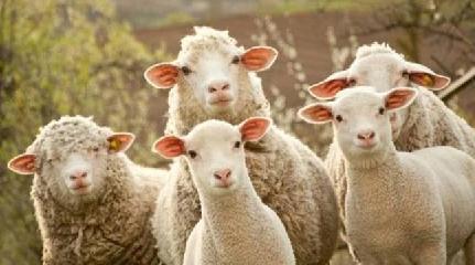 https://www.ragusanews.com//immagini_articoli/06-09-2017/giarratana-tentano-rubare-piena-notte-intero-gregge-pecore-240.jpg