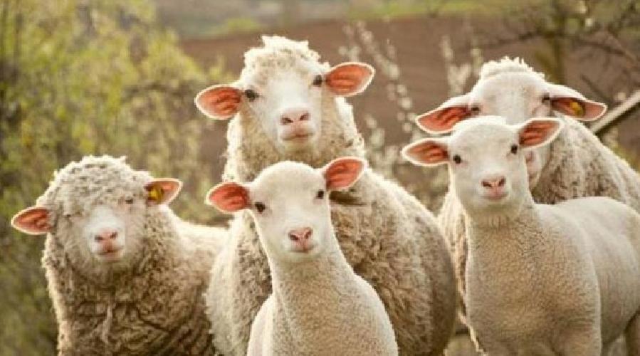 https://www.ragusanews.com//immagini_articoli/06-09-2017/giarratana-tentano-rubare-piena-notte-intero-gregge-pecore-500.jpg