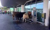 https://www.ragusanews.com//immagini_articoli/06-11-2015/mucche-in-partenza-all-aeroporto-di-catania-video-100.png