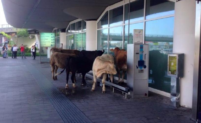 https://www.ragusanews.com//immagini_articoli/06-11-2015/mucche-in-partenza-all-aeroporto-di-catania-video-500.png