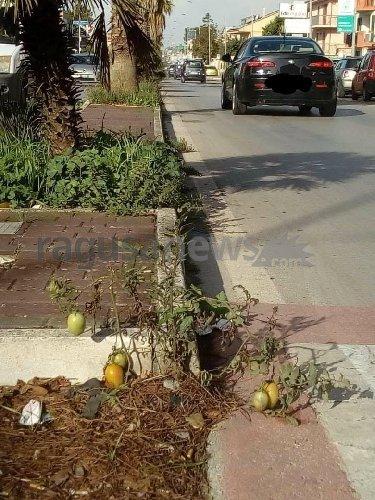 https://www.ragusanews.com//immagini_articoli/06-11-2019/a-ragusa-aiuole-pubbliche-crescono-piante-di-pomodori-500.jpg