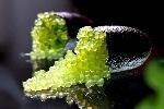 http://www.ragusanews.com//immagini_articoli/07-02-2017/caviale-limone-primo-campo-sperimentale-sicilia-100.jpg