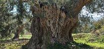 https://www.ragusanews.com//immagini_articoli/07-03-2018/alberi-saraceni-olio-chiaramonte-100.jpg