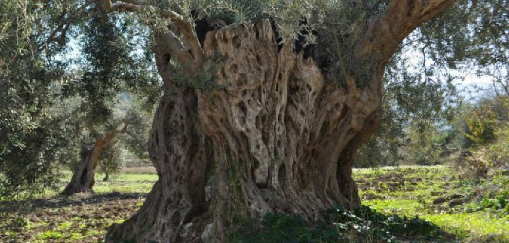 https://www.ragusanews.com//immagini_articoli/07-03-2018/alberi-saraceni-olio-chiaramonte-500.jpg