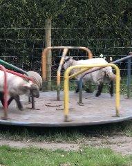 https://www.ragusanews.com//immagini_articoli/07-04-2020/il-parco-giochi-e-vuoto-le-pecore-fanno-la-giostra-ma-non-sanno-scendere-240.jpg
