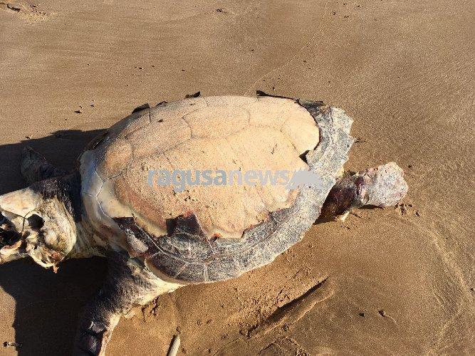 https://www.ragusanews.com//immagini_articoli/08-02-2018/carcassa-tartaruga-bruca-500.jpg