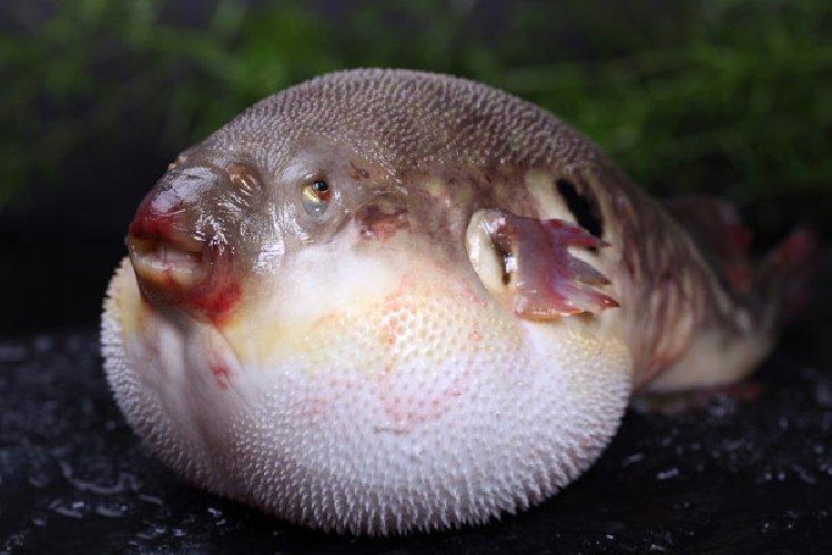 https://www.ragusanews.com//immagini_articoli/08-08-2018/bagno-vendicari-attenti-pesce-palla-500.jpg