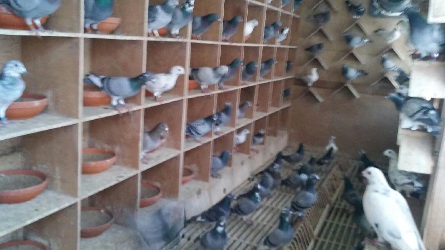 http://www.ragusanews.com//immagini_articoli/09-11-2015/piccioni-viaggiatori-del-valore-ciascuno-di-15-mila-euro-500.jpg