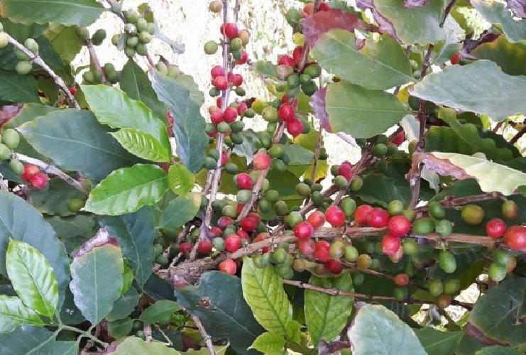 https://www.ragusanews.com//immagini_articoli/10-02-2019/pomodori-sicilia-inizia-coltivazione-caffe-500.jpg