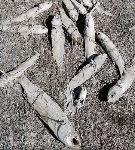 https://www.ragusanews.com//immagini_articoli/10-09-2021/pantano-longarini-arida-distesa-di-pesci-stecchiti-video-500.jpg