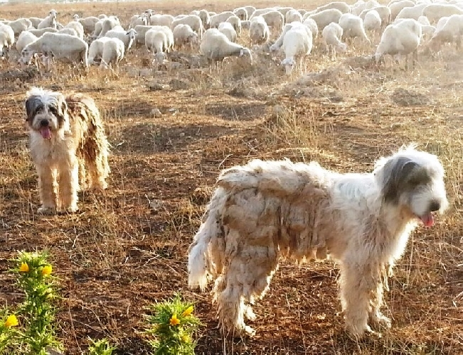 http://www.ragusanews.com//immagini_articoli/10-12-2014/nasce-la-razza-spino-degli-iblei-500.jpg