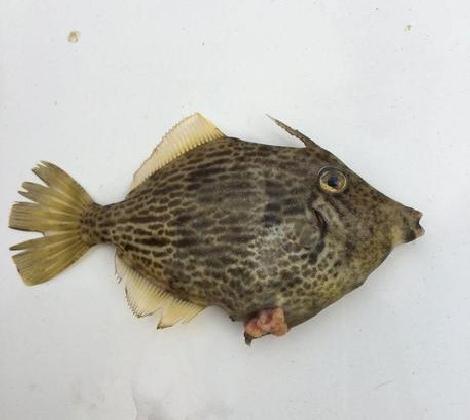 https://www.ragusanews.com//immagini_articoli/11-10-2016/un-pesce-indiano-pescato-a-scoglitti-420.jpg