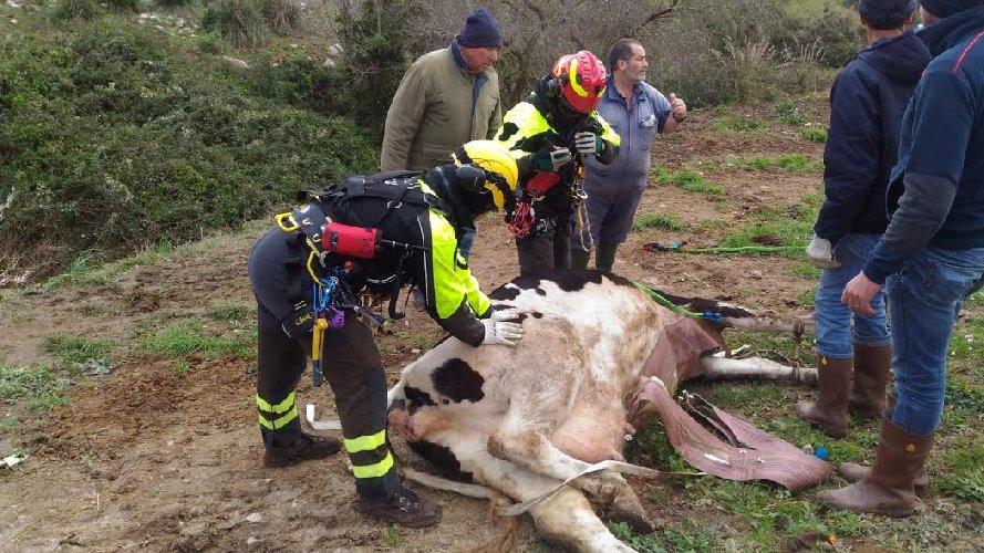 https://www.ragusanews.com//immagini_articoli/12-01-2019/pompieri-recuperano-bovino-caduto-scarpata-elicottero-500.jpg