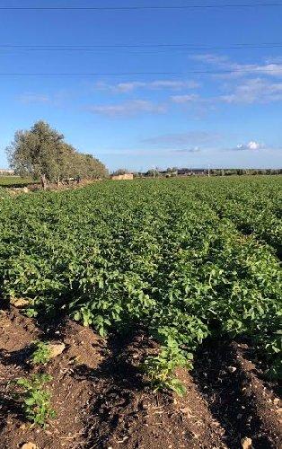 https://www.ragusanews.com//immagini_articoli/12-02-2019/patate-novelle-sicilia-situazione-climatica-difficile-produzione-500.jpg