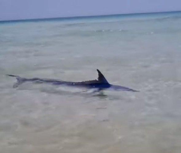 https://www.ragusanews.com//immagini_articoli/12-05-2021/sembra-uno-squalo-a-riva-ma-e-una-aguglia-imperiale-video-500.jpg