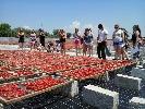 https://www.ragusanews.com//immagini_articoli/12-06-2015/gli-americani-vengono-a-studiare-i-pomodori-a-ispica-100.jpg