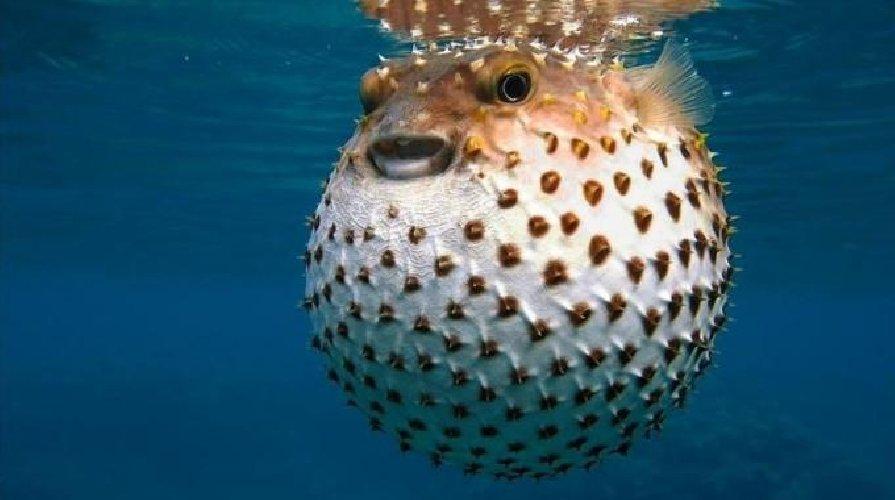 https://www.ragusanews.com//immagini_articoli/12-06-2018/mediterraneo-tropicale-arriva-pesce-palla-barracuda-500.jpg