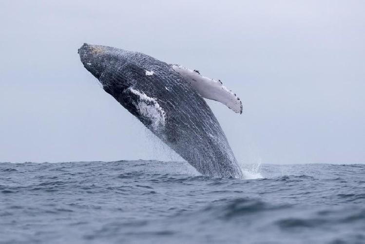 https://www.ragusanews.com//immagini_articoli/12-06-2021/balena-inghiottisce-pescatore-salvo-per-colpo-di-tosse-500.jpg