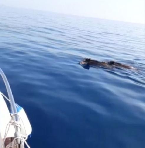 https://www.ragusanews.com//immagini_articoli/12-06-2021/cinghiali-a-nuoto-in-alto-mare-vengono-dall-africa-video-500.jpg
