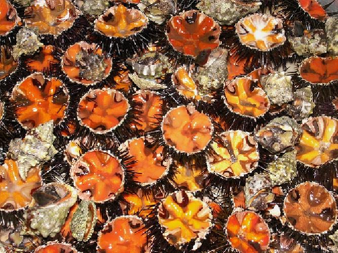 http://www.ragusanews.com//immagini_articoli/12-10-2014/pesca-abusiva-di-ricci-di-mare-multa-di-8-mila-euro-500.jpg