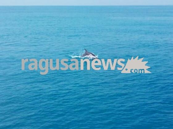 http://www.ragusanews.com//immagini_articoli/13-02-2017/giocano-delfini-mare-donnalucata-cava-aliga-video-420.jpg