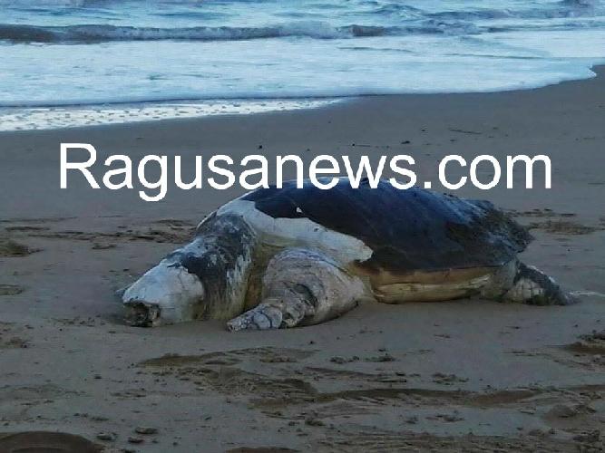 http://www.ragusanews.com//immagini_articoli/13-05-2016/tartaruga-marina-si-arena-a-cava-d-aliga-500.jpg