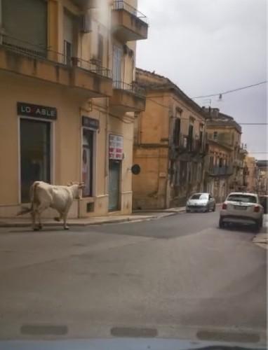 https://www.ragusanews.com//immagini_articoli/13-05-2020/il-video-della-mucca-al-trotto-per-le-strade-di-ragusa-500.jpg