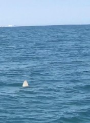 https://www.ragusanews.com//immagini_articoli/13-07-2020/lo-squalo-non-e-una-canesca-ma-un-pesce-luna-240.jpg