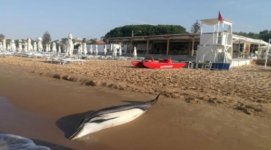 https://www.ragusanews.com//immagini_articoli/14-08-2019/cucciolo-di-delfino-morto-spiaggiato-a-playa-grande-500.png