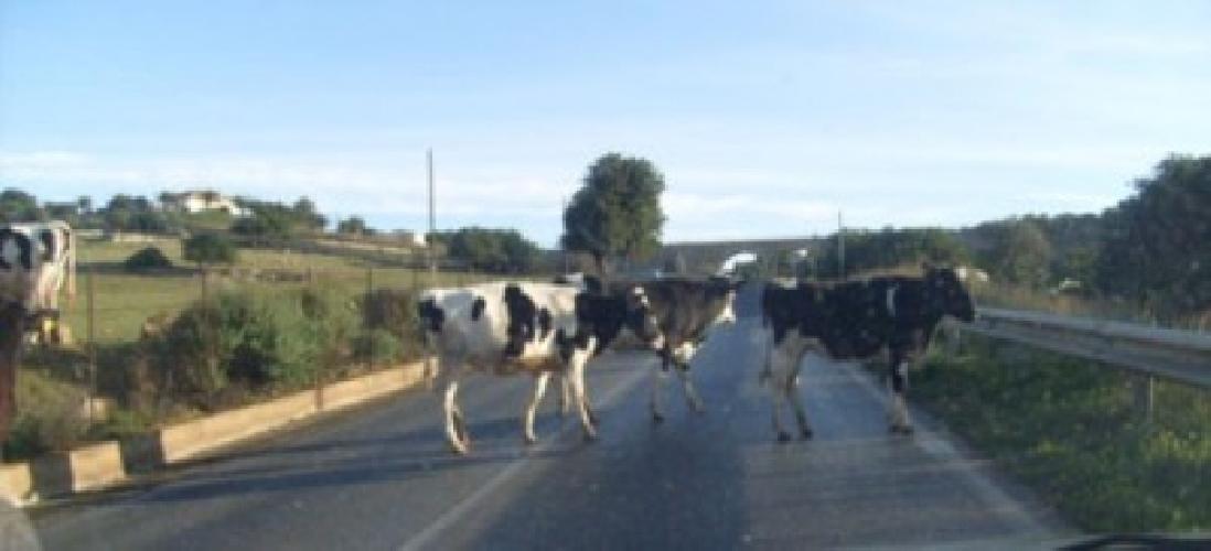 http://www.ragusanews.com//immagini_articoli/14-10-2014/mucche-vaganti-a-monterosso-500.jpg