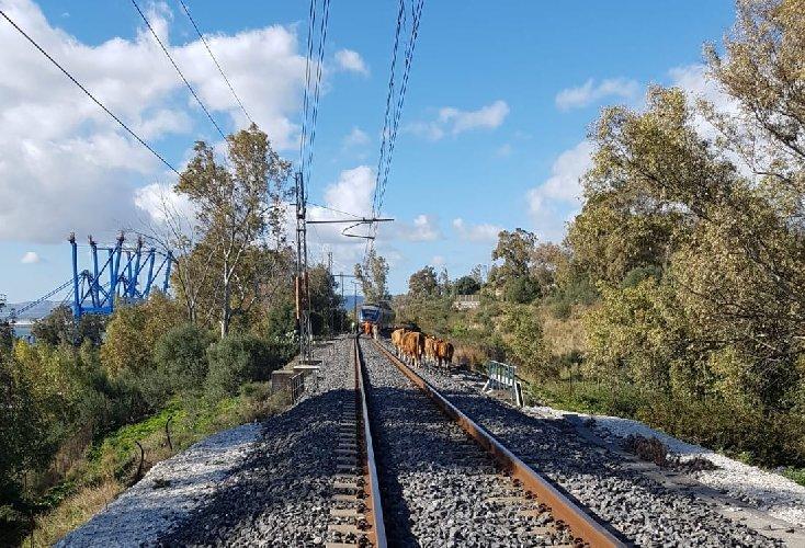 https://www.ragusanews.com//immagini_articoli/15-04-2019/il-treno-siracusa-modica-le-mucche-denunciato-il-proprietario-500.jpg
