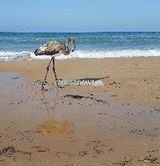 https://www.ragusanews.com//immagini_articoli/15-08-2018/prima-volta-fenicottero-spiaggia-arizza-240.jpg