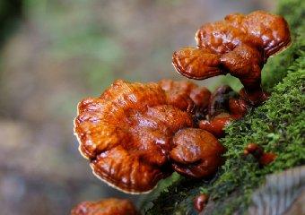 https://www.ragusanews.com//immagini_articoli/16-02-2020/questo-fungo-abbassa-la-glicemia-240.jpg